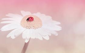 Картинка цветок, природа, божья коровка