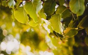 Обои листья, дерево, боке