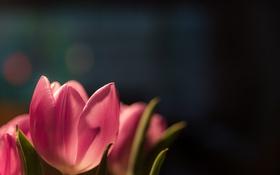 Обои лепестки, тюльпаны, розовые