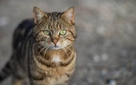 Обои глаза, кот, усы, фон