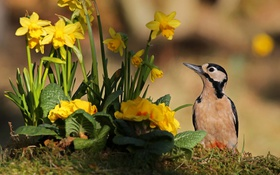 Картинка цветы, птица, дятел, нарциссы, примула