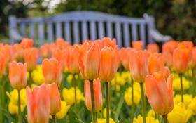 Обои тюльпаны, оранжевые, бутоны, боке