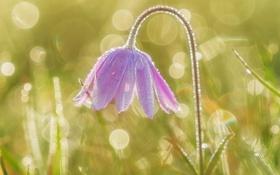 Картинка нежность, сон-трава, анемон