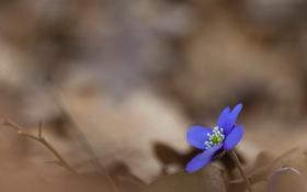 Обои цветок, природа, весна, фиалка