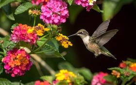 Обои полет, крылья, колибри, птичка, лантана