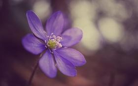 Обои цветок, фиолетовый, макро, сиреневый, фокус, анемона, ветреница