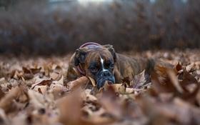 Обои взгляд, листья, друг, собака