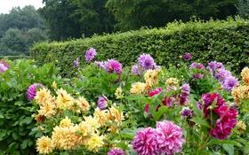 Обои деревья, цветы, парк, желтые, фиолетовые, кусты, георгины