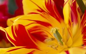 Обои макро, тюльпан, лепестки, пестрый