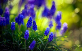 Обои hyacinth, природа, цветы