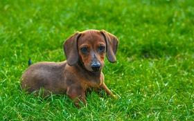 Картинка трава, взгляд, друг, собака