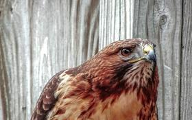 Обои взгляд, птица, портрет, хищник, ястреб, канюк, краснохвостый сарыч