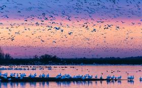 Обои птицы, природа, стая, вечер, зарево, водоем