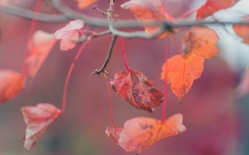 Обои осень, листья, красные, листочки