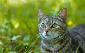 Картинка кошка, глаза, усы, взгляд, морда, фон