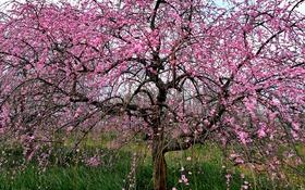 Обои природа, дерево, сакура, цветение