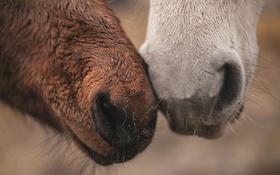 Обои фон, кони, морды