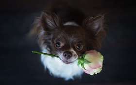 Обои взгляд, друг, роза, собака