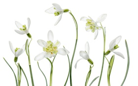 Обои макро, природа, весна, лепестки, подснежник