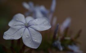 Обои цветок, капли, лепестки