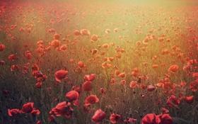 Обои цветы, маки, красные