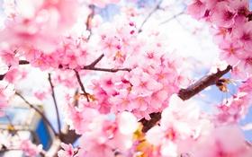 Обои цветы, весна, лепестки, сакура, цветение