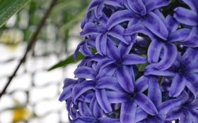 Обои фиолетовый, весна, Гиацинт