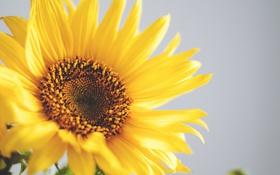 Обои цветок, желтые, лепестки