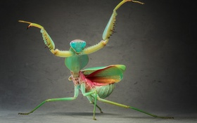 Обои green, legs, close-up, wings, animal, head, bug