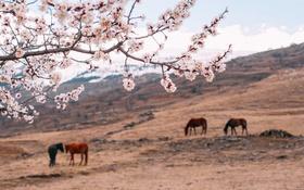 Обои поле, пейзаж, цветы, природа, кони