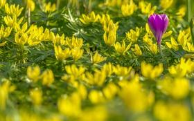 Обои весенник зимующий, боке, крокус, весна