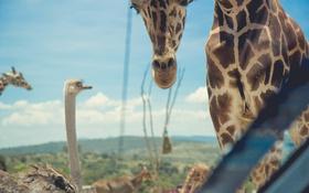 Обои жираф, пятна, страус