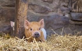 Обои фон, сарай, свинья