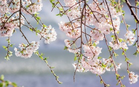 Обои ветки, розовый, весна, сакура