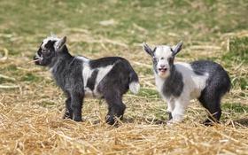 Обои природа, фон, козы