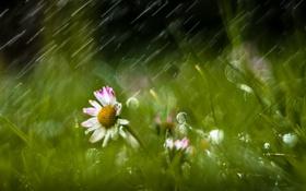 Обои цветы, природа, дождь