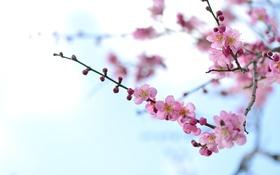 Обои розовый, нежность, красота, ветка, весна, абрикос