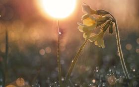 Обои солнце, макро, свет, роса, весна, примула