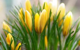 Обои желтый, весна, крокусы, бутоны