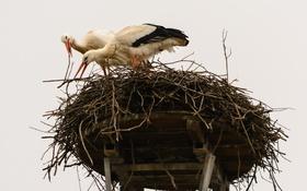 Обои птицы, природа, гнездо, аисты