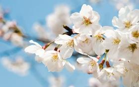 Обои вишня, ветка, весна