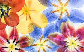 Картинка макро, лепестки, тюльпаны, гербарий