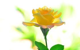Обои листья, фон, роза, красота, лепестки