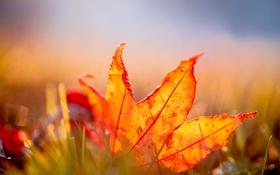 Обои оранжевый, лист, листок