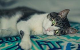 Обои кошка, глаза, кот, шерсть, лежит
