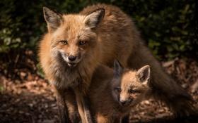 Обои природа, фон, лисы