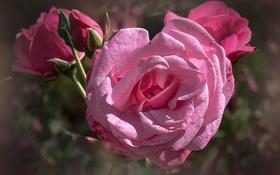 Обои роза, куст, лепестки, бутон