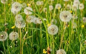 Картинка лето, трава, пушистый, луг, одуванчики