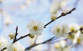 Обои макро, ветка, весна, абрикос