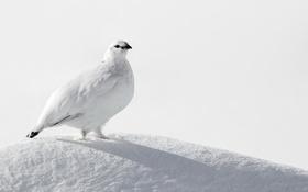 Обои снег, птица, White, Ptarmigan